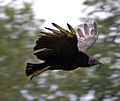 Black Vulture in flight 2 (6022500000).jpg