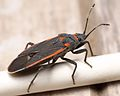 Black and red seed bug Melacoryphus lateralis Kern County 2016-06-01.jpg