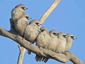 Artamidae - Black-faced woodswallows roosting as a group