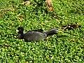 Black pea hen caracas zoo.jpg