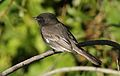 Black phoebe, Sayornis nigricans, along the Guadalupe River in Santa Clara, California, USA (22777322348).jpg