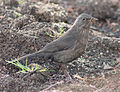 Blackbird in Madrid (Spain) 33.jpg