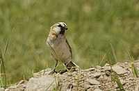 Blanford's Snowfinch at Startsapuk Tso, near Tsokar, Ladakh, India.jpg