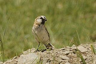 Blanfords snowfinch species of bird