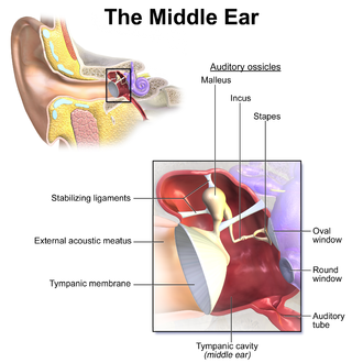 Oval window - Middle ear, with oval window at right.