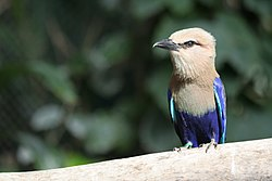 Blue-bellied Roller (Coracias cyanogaster) -on branch.jpg