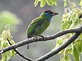 Blue-throated Barbet Megalaima asiatica by Dr. Raju Kasambe DSCN4094 (4).jpg