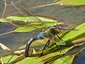 Blue Emperor. . Anax Imperator - Flickr - gailhampshire.jpg