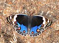Blue Pansy Junonia Orithya (5683808847).jpg
