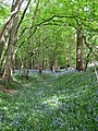 Bluebells, Collier's Croft Wood - geograph.org.uk - 1285900.jpg
