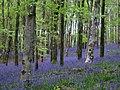 Bluebells - Hooke Park - geograph.org.uk - 1284261.jpg