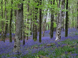 Hooke Park - Bluebells in Hooke Park