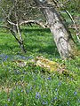 Bluebells In the Wood - geograph.org.uk - 421607.jpg