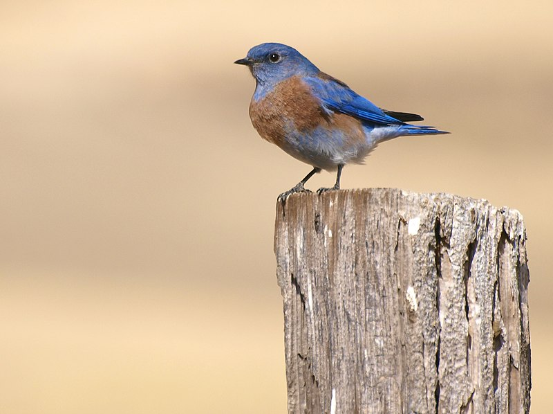 File:Bluebird on a Post.jpg