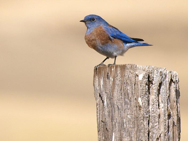 File:Bluebird on a Post.jpg