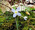 Bluets Nature Hike Duke Forest Durham NC 0240 (26394889010).jpg