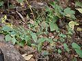 Blumea paniculata (4163034769).jpg