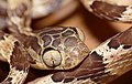 Blunthead Tree Snake (Imantodes cenchoa) close-up ... (37835355764).jpg