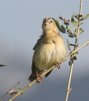 Bobolink - Female, Lamoille, Nevada