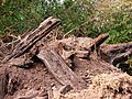 Bog oak - geograph.org.uk - 566935.jpg
