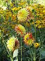 Bogarub-dahlia-hortensis-kaktusdahlien-vor-rudbeckia-fulgida-1.jpg