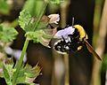 Bombus argillaceus female 1.jpg