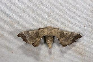 Bombyx mandarina - Image: Bombyx mandarina formosana (35848743764)