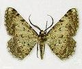 Bonn zoological bulletin - Gnopharmia colchidaria (male).jpg