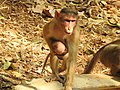 Bonnet Macaque Macaca radiata with young by Dr. Raju Kasambe DSCN0473 (6).jpg