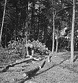 Bosbewerking, arbeiders, boomstammen, gereedschappen, werkzaamheden, motorzagen, Bestanddeelnr 253-5939.jpg