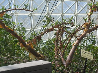 Frankincense - Boswellia sacra tree that produces frankincense, growing inside Biosphere 2