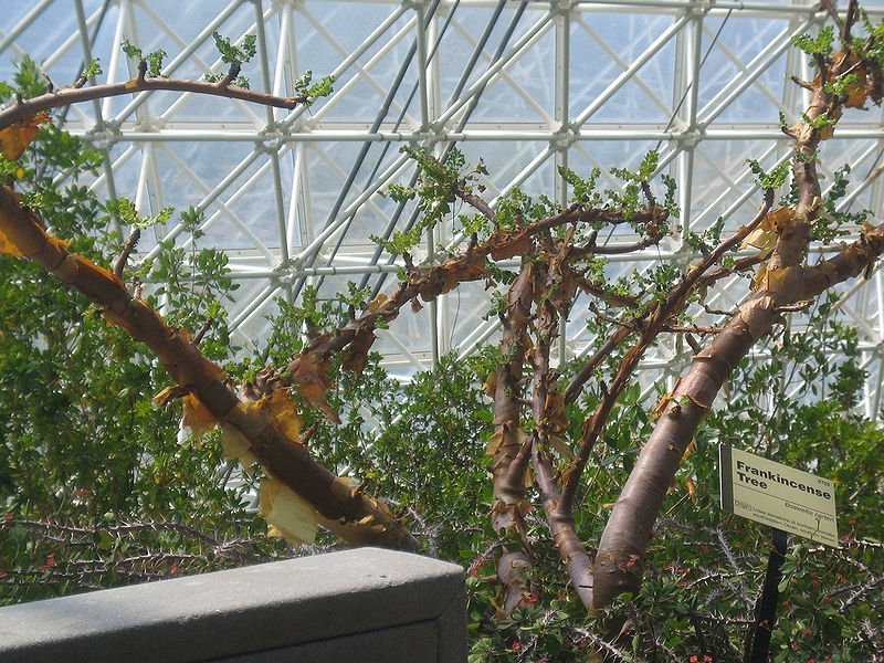Boswellia-sacra-greenhouse