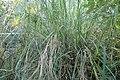 Bothriochloa bladhii kz02.jpg
