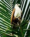 Brahminy Kite (6987395695).jpg