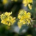 Brassica napus-Colza-Fleurs-20190117.jpg