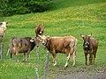 Braunvieh und Fleckvieh an der Wertach - panoramio.jpg