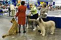 Briard dog show.jpg