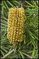 Bribie Island Yellow Banksia-1 (21050295801).jpg