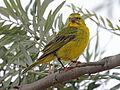 Brimstone Canary RWD3.jpg
