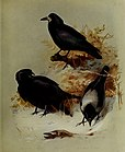 British birds (1915) (19795669463).jpg