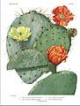 Britton Rose Cactaceae v1-plate34.jpg