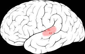 Auditory cortex - Brodmann areas 41 & 42 of the human brain