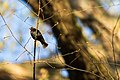 Brown-headed cowbird (26233509792).jpg
