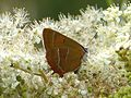Brown Hairstreak (Thecla betulae) Lycaenidae. - Flickr - gailhampshire (2).jpg