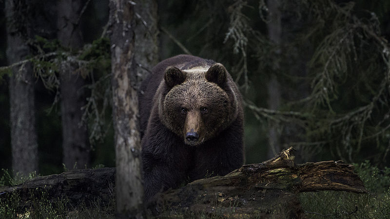 File:Brown bear (Ursus arctos) Photo-Per Harald Olsen.jpg