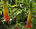 Brugmansia sanguinea 2 flowers.jpg