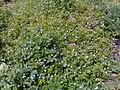 Brunnera flower in Alvand Mountains.jpg