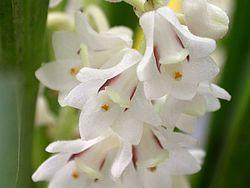 Bryobium hyacinthoides.jpg