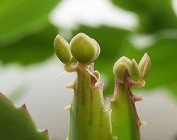 Asexual reproduction in bryophyllum daigremontianum