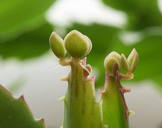 Bryophyllum daigremontianum - Image: Bryophyllum Daigremontianum macro